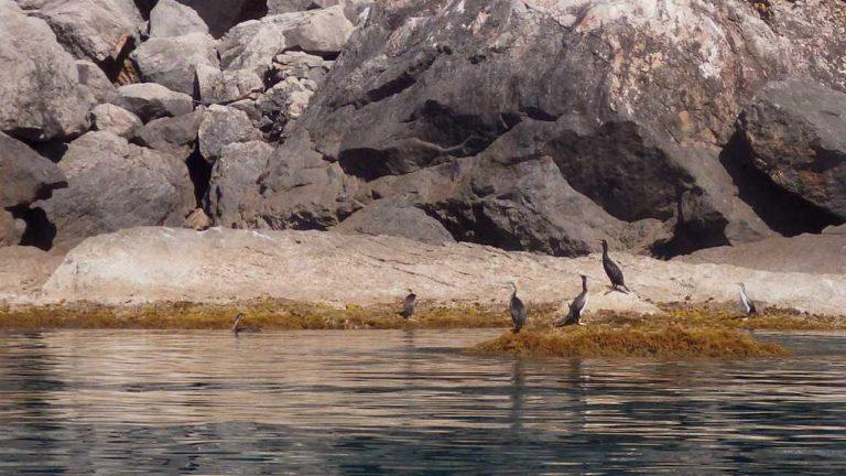 Cormorans perplexes face à leurs visiteurs