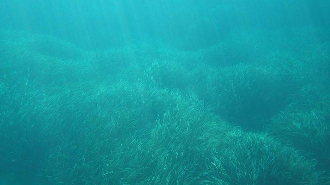 Prairie sous-marine en posidonie
